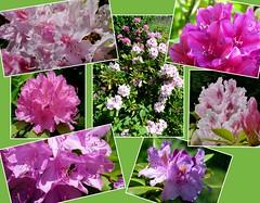 Rhododendron (ursula.valtiner) Tags: blume flower blüten blossoms rhododenron rhododendren pflanze plant garten garden niederösterreich loweraustria austria autriche österreich