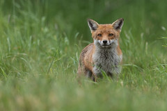 Fox (Glenn.B) Tags: nature mammal wildlife buckinghamshire fox redfox britishfox animal grassland
