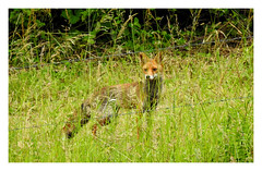 Beyond The Barbed Wire... (M.L Photographie) Tags: nature animal wild wildlife wildlifephoto wildlifephotography france normandie eure vulpes renard fox nikon coolpix p900