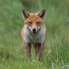 Fox (Glenn.B) Tags: nature animal mammal wildlife buckinghamshire fox grassland redfox britishfox