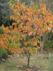 Autumnal Shades in the Dry Climate Orchard; the Garden of St Erth - Simmonds Reef Road, Blackwood (raaen99) Tags: gardenofsterth sterth sterthgardens sterthhouseandgardens 1860s 1866 1867 victoriangeorgianarchitecture victoriangeorgianbuilding victoriangeorgianhouse victoriangeorgiancottage victoriangeorgianstyle house home cottage domesticarchitecture victoriana nineteenthcentury 19thcentury building architecture matthewrogers maryannerogers simmondsreef victoriangoldrush goldrush goldrushera sandstone stone verandah corrugatedironroof corrugatediron iron hippedroof roof walls window door diggersclub diggers diggersgardeningclub diggersgardenclub gardeningclub gardenclub garden blackwood victoria australia grounds grass greenery leaves tree trees leaf autumn fall autumnal bushes shrubs shrubbery houseandgardens