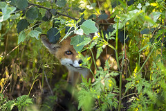 Shy, yet curious (adambotond) Tags: redfox fox vulpesvulpes animal outdoor cub nature naturephotography wildlife wildlifephotography wild wildanimal wilderness canoneos1dx canon adambotond hungary magyarország mammal carnivore carnivora predator canon70200f28lisiiusm shy curious