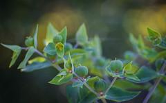 Euphorbia (ursulamller900) Tags: pentacon28100 euphorbia green mygarden bokeh