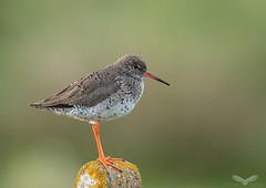Redshank (Andy Davis Photography) Tags: tringatotanus redshank wader perched spring canon