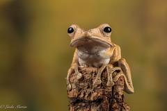 Borneo Eared Frog (Linda Martin Photography) Tags: borneoearedfrog captivelight polypedatesotilophus frogworkshop uk naturethroughthelens coth coth5 ngc npc
