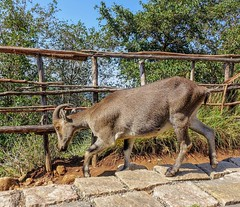 Nilgiri Ibex / Nilgiri Thar / Varayadu is an endangered mountain goat. (Mathew S Thomas) Tags: park india mountain goat kerala national species endangered thar keralam ibex nilgiri eravikulam varayadu hills munnar life wild animal