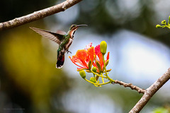 Costa-Rica (By Corsu) Tags: costarica canon eos 5d mark iv 100400l nature sauvage animaux animal wild wildlife forêt wood flickr by corsu trek faune voyage travel