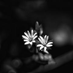 Flora (Francisco (PortoPortugal)) Tags: 1142019 20190226foli0833 flor flower flora monochrome monocromático pretoebranco blackandwhite bw nb pb quadrada square