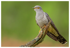 Cuckoo (Brian P Slade Photography) Tags: cuckoo birds bird animalportraits animals birding birdwatching ukwildlife uk ukbirds ukvisitor visitor wildlife wildlifephotography naturephotography nature brianpslade brianpsladephotography sigmasports sigma canon canonphotography mammals avian ornithology spring
