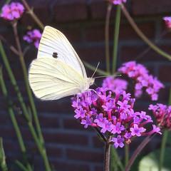 Klein koolwitje (gwendolen) Tags: pierisrapae butterfly vlinder koolwitje