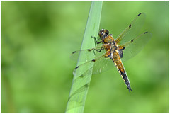 Four Spotted Chaser. (Fen Photos) Tags: woodwaltonfen greatfen greatfenproject wildlifetrust bcnwildlifetrust nnr cambridgeshire four spotted chaser dragonfly commondarterdragonfly sony a77m2 sigma 105mm macro