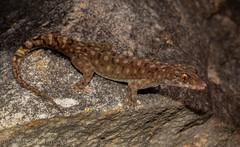 Crocodile-faced Dtella (Gehyra xenopus) (Mattsummerville) Tags: crocodilefaceddtella gehyraxenopus princeregent gecko
