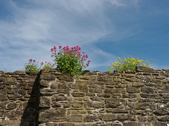 Town Walls of Conwy-E6101796 (tony.rummery) Tags: ancient city conwy em10 flowers growth historic mft microfourthirds omd olympus plants ruin wales walls unitedkingdom