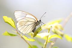 Laying her eggs (Anita van Rennes) Tags: groot geaderd witje aporia crataegi blackveined white eggs ei vlinder butterfly