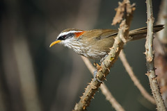 Streak-breasted Scimitar Babbler (Rajiv Lather) Tags: streakbreastedscimitarbabbler pomatorhinusruficollis himalayas india birds birding mountains wildlife nature