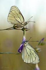 De palique (Aporia crataegi) (DigitalOscura) Tags: macrofotografía macro mariposas lepidopteros lepidoptera insectos desenfoque