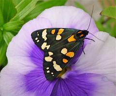 Scarlet Tiger Moth. Callimorpha dominula (gailhampshire) Tags: scarlet tiger moth callimorpha dominula taxonomy:binomial=callimorphadominula