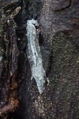Tautuku gecko skin (Carey Knox) Tags: gecko mokopirirakau lizard newzealand