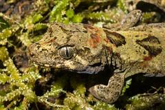 Tautuku gecko (Carey Knox) Tags: gecko mokopirirakau lizard newzealand