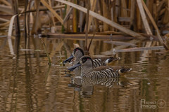 Pink-eared Duck (Aspect_Images) Tags: ngc naturephotography nature birdlife birdphotography birdsofflickr birds duck