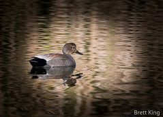 Gadwall (1 of 1) (dbking2162) Tags: ducks wildlife water waterfowl nature nationalgeographic gadwall birds bird beautiful beauty explore eyes indiana migration