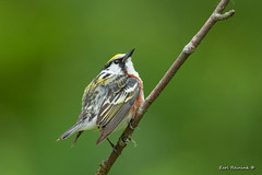 Chestnut-sided Warbler (Earl Reinink) Tags: chestnutsided warbler earlreinink bird irdadardea