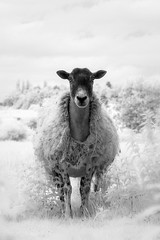 Infrared Sheep Mono (GeorgeKBarker) Tags: infrared sheep lamb lambs wool head monochrome mono black white contrast detail 720 nm spectrum portrait single lone one shear