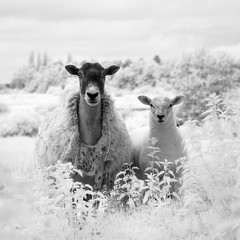 A Sheep and Two Lambs Infrared Mono (GeorgeKBarker) Tags: infrared sheep lamb lambs wool head monochrome mono black white contrast detail 720 nm spectrum portrait square shear