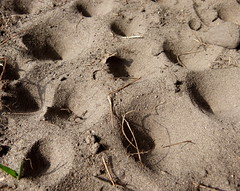 Ameisenlöwenkolonie (Maritime Fotografie) Tags: ameisenlöwe kolonie ameisenjungfer trichter ameise larve kleintierjäger raubjäger jäger martin tolle raupe tier insekt libelle mare
