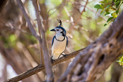 White-throated Magpie-Jay Costa-Rica (By Corsu) Tags: costarica canon eos nature sauvage animaux animal wild wildlife forêt wood flickr by corsu trek faune voyage travel 6d whitethroatedmagpiejay bird oiseau
