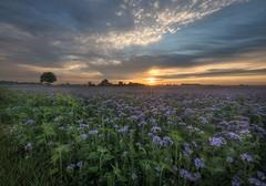 Sonnenaufgang in der Vorderpfalz (Pfalzknipser) Tags: gäu landschaft lichtstimmung phacelia sonnenaufgang wiese
