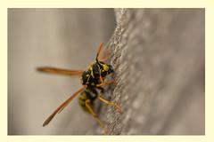 Baumaterial wird gesammelt. (simson60) Tags: wespe insekt sommer macro nestbau dof mittwochsmacro