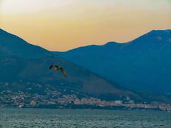 Seagull flying at dusk (AlphaLibrae) Tags: fly seagull sea sunset dusk mountains sky