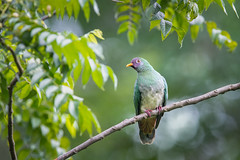 Female Jambu Fruit Dove (BP Chua) Tags: singapore nature wild wildlife animal bird dove jambu nikon d850 600mm green