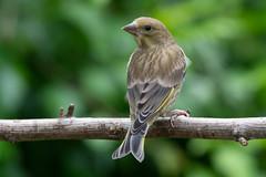 Greenfinch-100 (davidgardiner8) Tags: birds garden finches eastsussex greenfinch