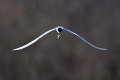 TernWithFish1 (Rich Mayer Photography) Tags: tern fish bird birds avian fly flying flight nature wild life wildlife nikon