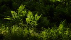 In einem Sumpfwald bei Haby - ein Farn im Gegenlicht (65) (Chironius) Tags: haby deutschland germany allemagne alemania germania германия niemcy schleswigholstein grün gegenlicht wald forest forêt лес bosque skov las polypodiopsida farne polypodiales tüpfelfarnartige farn fern helecho fougère