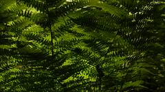 In einem Sumpfwald bei Haby - ein Farn im Gegenlicht (67) (Chironius) Tags: haby deutschland germany allemagne alemania germania германия niemcy schleswigholstein grün gegenlicht wald forest forêt лес bosque skov las polypodiopsida farne polypodiales tüpfelfarnartige farn fern helecho fougère
