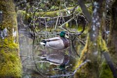 Naturaly Framed. (Omygodtom) Tags: wildlife scene senery duck bird reflection oaksbottom setting portrait pond usgs ngs flickriver d7100 dof nikon70300mmvrlens