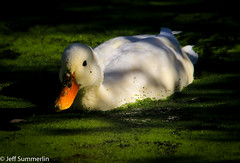Duck. Weed. (Jeff Derbys) Tags: duck duckweed