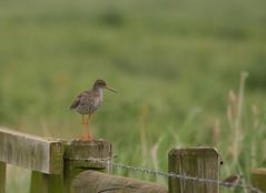 Common Redshank (yvonnepay615) Tags: panasonic lumix gh4 nature bird commonredshank nwt norfolkwildlifetrust cley norfolk eastanglia uk coth coth5