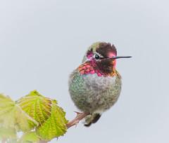 Tiny Portrait. (Omygodtom) Tags: bird hummingbird annashummingbird wildlife wild contrast colorful natural nature flickriver red branch nikkor nikon70300mmvrlens scene d7100