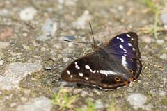 DN9A6151 (Josette Veltman) Tags: vlinder natuur macro insect macrophotography macrofotografie 100mm28 100mm28lisusm canon7dii