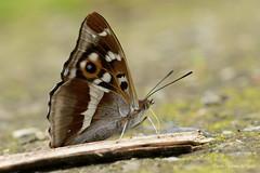 DN9A6251 (Josette Veltman) Tags: vlinder natuur macro insect macrophotography macrofotografie 100mm28 100mm28lisusm canon7dii