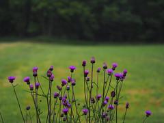 in the rain (murozo) Tags: thistle flower rain green yurihonjo akita japan アザミ 花 雨 緑 由利本荘 秋田 日本