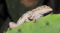 Moorish Gecko (Tarentola mauritanica) (Nick Dobbs) Tags: reptile lizard moorish gecko tarentola mauritanica malta wizgha talkampanja