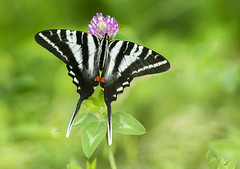Zebra Swallowtail (Bernie Kasper (6 million views)) Tags: art berniekasper butterfly bug bugs butterflies color colour d750 family flower floral flowers green hiking indiana indianawildflowers insect insects indianabutterflies image jeffersoncounty light landscape leaf love leaves clover madisonindiana macro nature nikon naturephotography new outdoors outdoor old outside photography park plant photos plants photo people raw sigma spring summer swallowtail travel trail unitedstates usa wildflower wildflowers