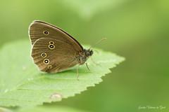 DN9A6282 (Josette Veltman) Tags: vlinder natuur macro insect macrophotography macrofotografie 100mm28 100mm28lisusm canon7dii