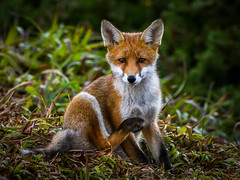 Aberdeenshire Fox (James Fraser Singer) Tags: animal canon cub scotland aberdeenshire wildlife sigma aberdeen fox wildanimal foxcub scottishwildlife wildfox youngfox canon7dmkii scottishfox sigma150600mm