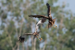 Marsh harriers (JS_71) Tags: nature wildlife nikon photography outdoor 500mm bird new spring see natur pose moment outside animal flickr colour poland sunshine beak feather nikkor d500 wildbirds planet global national wing eye watcher